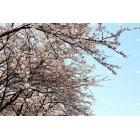 메인_벚꽃02