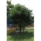 나무 33