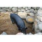 흑돼지 8