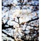 벚꽃 24