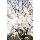 벚꽃 25