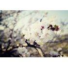벚꽃 26
