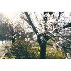 벚꽃 27