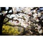 벚꽃 29