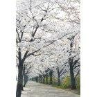 벚꽃 38