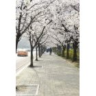 벚꽃 49