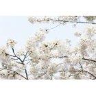 벚꽃 53
