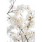 벚꽃 59
