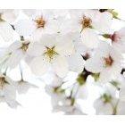 벚꽃 62