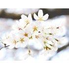 벚꽃 64